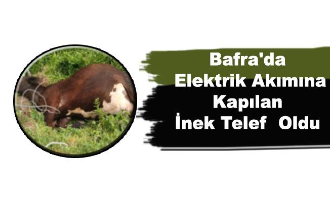 Bafra'da Elektrik Akımına Kapılan İnek Telef  Oldu