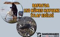 Bafra'da Çok Sayıda Karabatak ve Kuğu Ölümleri Mevcut